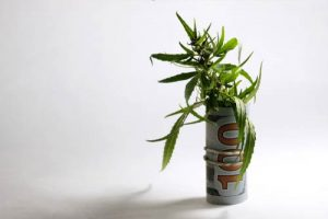 A small marijuana plant wrapped in a hundred dollar bill against a white backdrop